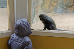 The encounter (herkan) Tags: zoo royan animals monkey girl stare reciprocity
