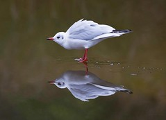 Black headed gull on frozen lake (*steve booth) Tags: black headed gull frozen lake ice reflection seagull savill uk cold shivering feathers winter december