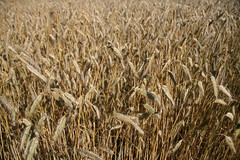 20130720_IMG_0109 (anriro96) Tags: elements heemsen nienburg feld ernte gras getreide blau blue sky rohrsen weser sun summer