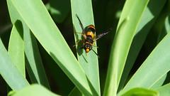 Potter Wasp Ancistrocerus kerneri (davidcawthraw) Tags: potterwasp ancistroceruskerneri