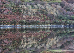 Rarest of the rare (Frank Fullard) Tags: frankfullard fullard wold calm landscape mirror sea water atlantic ocean tree reflection colour colours autumn tamed untamed achill greenway