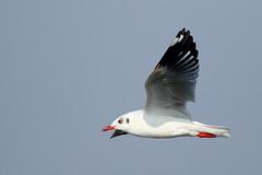 Brown-headed Gull (!! Michael Francis !!) Tags: chroicocephalusbrunnicephalus brownheadedgull 7dmkii canon 100400mm bridsinflight