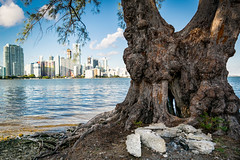 Miami 2016 (peter-amador) Tags: tree trunk biscayne bay brickell skyline viewed from hobie island beach park key miami florida