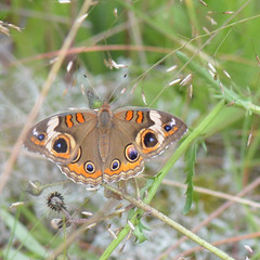 Common Buckeye_0288  Junonia coenia (agawa2yukon) Tags: nymphalinae nymphalidae lepidoptera