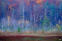 autumn symphony (Sandra Bartocha) Tags: csandrabartocha autumn fall bog marshes pines birches müritznationalpark