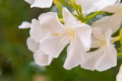 Oleander Bloom (eahackne) Tags: macro oleander flower