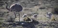 Chile (richard.mcmanus.) Tags: chile torresdelpaine rhea nandu bird animal wildlife mcmanus rheapennata lesserrhea
