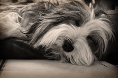 Do not disturb .....I'm sleeping (.Sophie C.) Tags: fly hellsbellsdesbergersdes1001nuits beardedcollie beardie chien dog monochrome pet