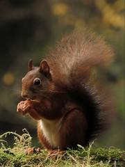 All of him (or her :-) (Manon van der Burg) Tags: squirrel eekhoorntje krulstaart nature natuurfotografie forest bossen belgi rodant knaagdier mooiiiiiii aandoenlijk sx60 powerrrrshot canon autumn fitstheframe pastinhetkader