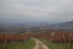 Blick zurück nach Gau-Algesheim und nach Ingelheim