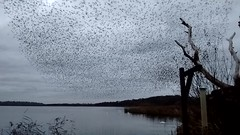 Starling murmuration (lord wardlaw) Tags: starling starlings murmuration bird wildlife aqualate aqualatemere staffordshire phone