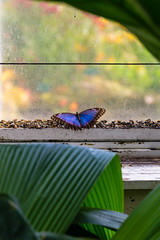 2016-10-19_14-45-33 (dans_photos) Tags: 2016 morpho nationalbotanicgardenofwales october southwales wales amazonian butterfly