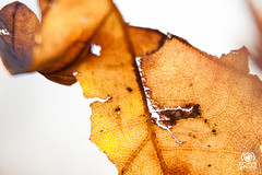 Fragments of autumn . 4 (andrea.prave) Tags: foglia details autumn fragment frammeto leaf closeup dettaglio macro naturaleza colors autunno natura nature colore