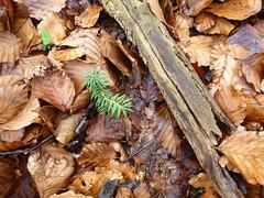 Μία καινούργια ζωή (έλατο) μεγαλώνει στο δάσος - A new life (fir) is growing up into the forest. (st.delis) Tags: έλατο πεσμέναφύλλα δάσοσγραμμένησοξιάσ φθιώτιδα ελληνικήχλωρίδα ελλάδα fir fallenleaves forestofgrammenioxya greekflora hellas