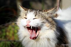 Grrrrrrr!!!! (Frank Abbate) Tags: cat diana canon eos 80d gatto gatta campagna country sbadiglio yawn