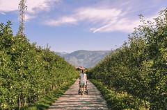 Endless apple alley... (b_represent) Tags: appletrees alley troller street photoraphy mountains bozen bozano dolomites dolomiten apls alpen