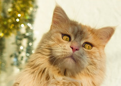 LInus and his Christmas Mantra (FocusPocus Photography) Tags: linus katze kater cat chat gato tier animal haustier pet weihnachten christmas lamettagirlande tinsel