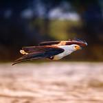 Fish Eagle thumbnail