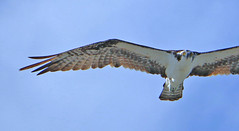 Osprey Fly-Over (tclaud2002) Tags: bird fly florida sarasota flyover osprey longboatkey