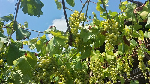 Grapes at Rozhen Monastery (IMG_0096)