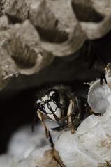 Bald-faced Hornet, Dolichovespula maculata (Linnaeus, 1763) (Misenus1) Tags: rhodeisland wasps animalia arthropoda hymenoptera insecta vespidae dolichovespulamaculata scituateri taxonomy:class=insecta taxonomy:kingdom=animalia taxonomy:phylum=arthropoda taxonomy:order=hymenoptera taxonomy:family=vespidae taxonomy:binomial=dolichovespulamaculata