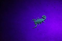 Scorpion (JellyBean Photos) Tags: light black color macro night dark neon glow bright scorpion blacklight scorpions