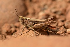 Woodland Grasshopper. (martynshutt71) Tags: fauna woodland flora cumbria grasshopper workington