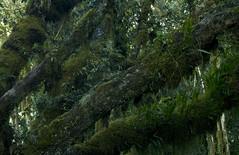 Meru Trees PC (jabeinji46) Tags: africa park trees green nature beautiful forest tanzania moss mt national lichen ferns arusha epiphytes meru