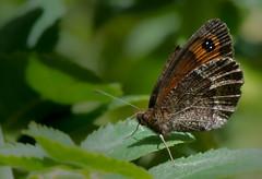 Moir striol - Erebia montana -  (michel lherm) Tags: papillons lpidoptres rhopalocres erebiamontana moirstriol