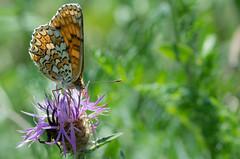 La Mlite des centaures - Melitae phoebe -  (michel lherm) Tags: papillons lpidoptres rhopalocres melitaephoebe mlitedescentaures