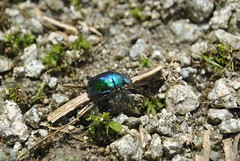 Beetle Lujiapogou July 2015 (Aidehua2013) Tags: insect beetle coleoptera unidentified lujiapogou sichuan china scarabaeidae rutelinae