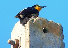 DSC00681 (VenilsonPereira) Tags: blue brazil sky bird azul brasil woodpecker céu amarelo passaro yallow picapau