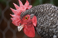 You Clucking to Me? (JamieHaugh) Tags: red pet detail chicken animal outdoors outdoor cluck coup
