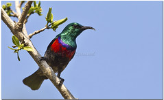 Neergaard's Sunbird (male) - Cinnyris neergaardi (Robert Wienand - www.krugerparksafari.com) Tags: africa birds southafrica aves colourful endemic passerines sunbirds nectariniidae nectarfeeders neergaardssunbird cynnirisneergaardi
