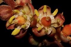 Cupaniopsis newmanii (andreas lambrianides) Tags: threatenedspecies australianflora australiannativeplants sapindaceae arfp australianrainforests australianrainforestplants cupaniopsisnewmanii longleavedtuckeroo nswrfp qrfp australianrainforestflowers arfflowers warmrainforest