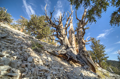 Bristlecone clinging to a cliff side.