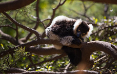 LEMUR-PARK-38 (RAFFI YOUREDJIAN PHOTOGRAPHY) Tags: park city travel trees plants baby white cute green animal fauna canon river jumping sweet turtle wildlife bricks mother adorable adventure explore lemur 5d lemurs bushes madagascar 70200 antananarivo mkiii