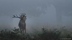 Calling (Sue MacCallum-Stewart) Tags: morning mist nature stag wildlife calling reddeer richmondpark