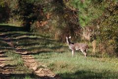 Pretty Doe. (rlbarn) Tags: wildlife doe deer whitetail
