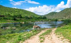 Margem do Rio Paraba. Paraba RiverSide. Paraba - Brasil. (valmirmacario) Tags: brazil rio brasil river ngc donkey paisagem burro jumento landascape paraba rioparaba riocompedras