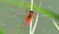 Feuerlibelle, Crocothermis erythraea (staretschek) Tags: feuerlibelle crocothermiserythraea segellibelle rotelibelle groslibelle libelledesjahres2011