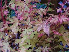 Acer palmatum Sangokaku 02 (angelaslater01) Tags: red plant tree leaves japanese maple acer