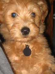 this-is-henry-when-he-first-got-to-his-new-home--hes-one-of-morgan-and-chewys-puppies-_3727701045_o