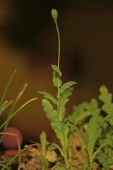amapolita (vlco iviero) Tags: plant grow amapola