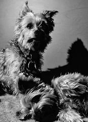 DSC_1187 (pec69) Tags: pet pets dog dogs yorkshire terrier yorkie