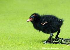 Walk or swim (muppet1970) Tags: algae water moorhen chick log holywellspark bird wildlife