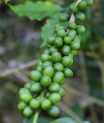 2016 Oct - coffee (Foods Resource Bank) Tags: haiti caribbean coffee farmers men women pruning improved income humanitarian food security development charity hunger