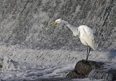 The Falls (boni5d) Tags: dam egret fish wisconsin animal bird migration burlington echo