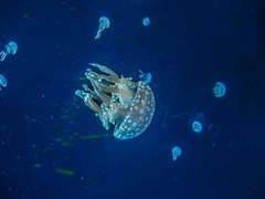 Jellies!!!! (RASH Photography....) Tags: jellies jelly fish aquarium water river sea outdoor nature