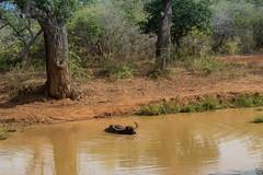 Wasserbüffel im Yala Nationalpark Sri Lanka